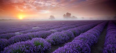 Lavendel für den Schlaf